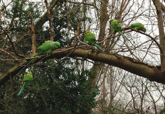 Feral parakeets