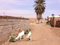 Grazing goats in Tutti village.