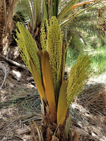 Date palm blossoms