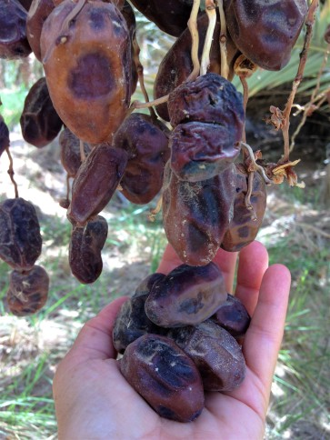 Dates still hanging on tree months after the harvest, and dates in the hand, Siwa Oasis