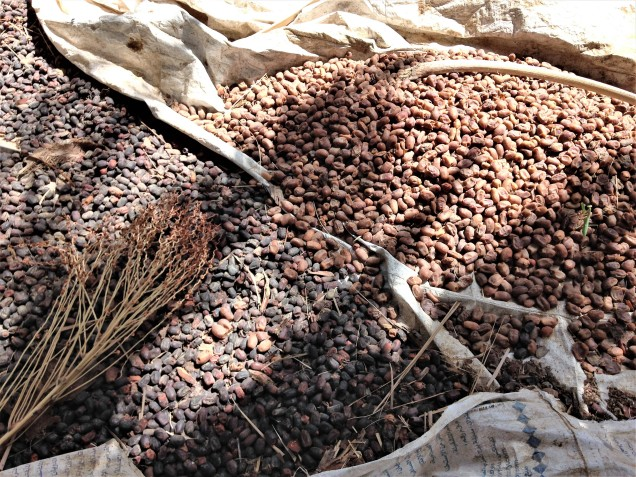 Dates drying on the ground, probably for feeding to animals.