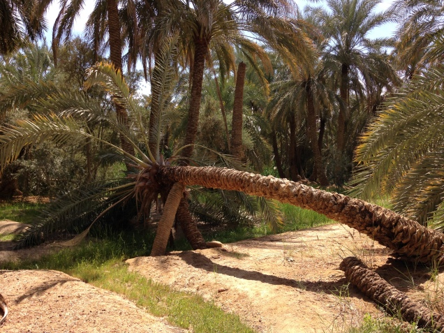 Leaning, supported palm tree in a Siwa Oasis palm garden