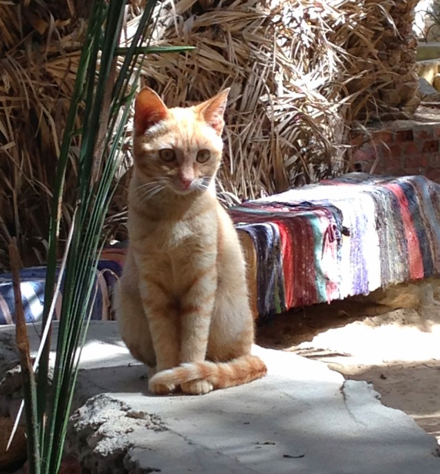 Orange kitten in garden at Siwa Oasis