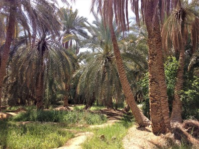 Palm garden in Siwa Oasis