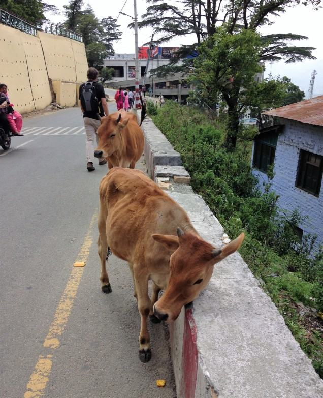 Cows on The Mall, Almora, Uttarakhand