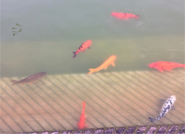 Goldfish in holy pond at Gurudwara Bangla Sahib, New Delhi