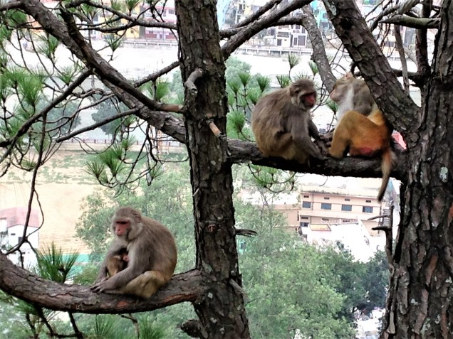Family of monkey relaxing in a pine tree with the Saryu River and buildings of Bageshwar visible through tree branches. Uttarakhand.