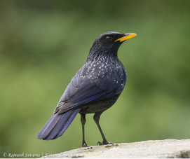 Photo of whistling thrush by Rajneesh Suvarna - https://goo.gl/images/Vf6Ubn