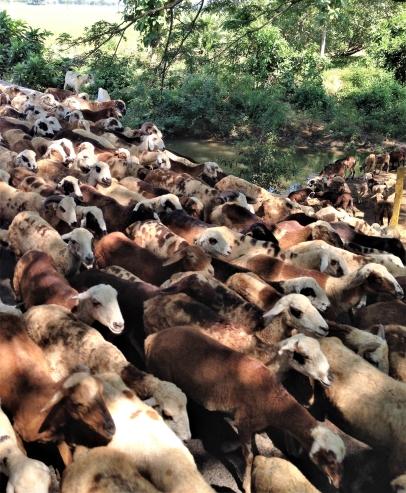 Goats on road on bus to Bhadrachalam, Andhra Pradesh