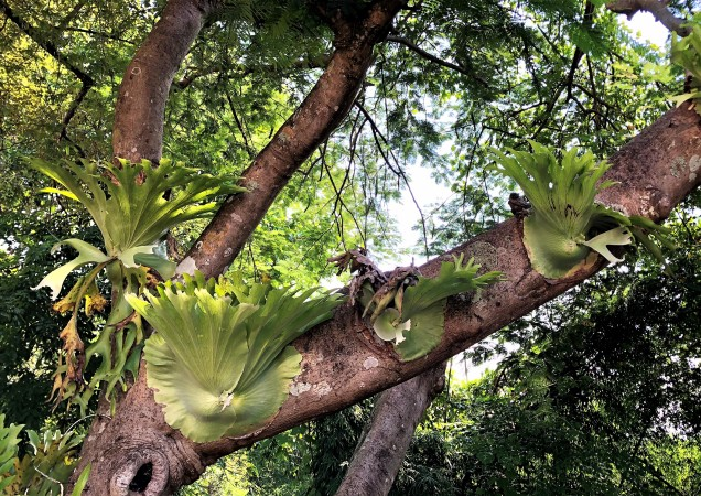 A photo of large staghorn ferns on a tree at Wat Phra That Doi Khao Kwai