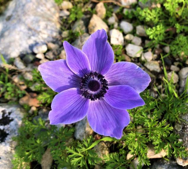 Poppy anemone growing at Limyra amphitheater
